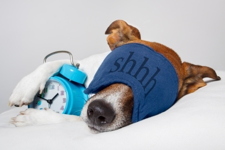 13169067 - dog with alarm clock and sleeping
